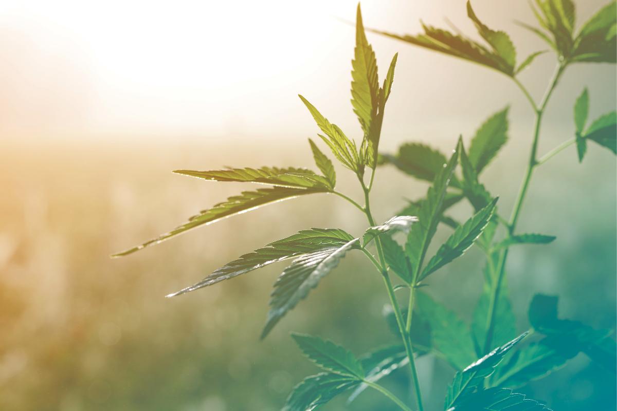 U S  hemp acres more than triple | 2019-01-29 | Food