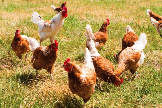 Tyson chickens sustainability