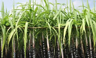 Sugarcane_lead