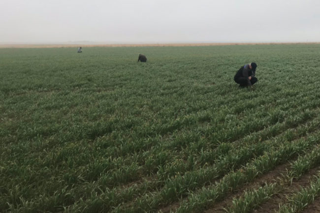 Kansas wheat crop
