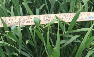 Wqcwheatmeasurement_lead