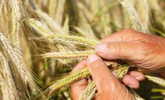 Wheat-inspection_photo-cred-adobestock_jochen-netzker_e