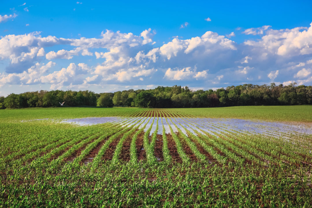 Flooded corn field