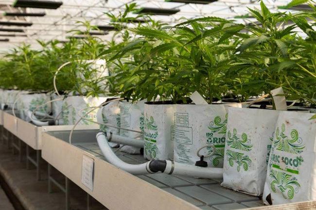 Surterra Wellness crops