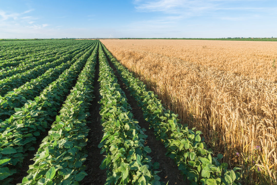 Wheat and soybean crops