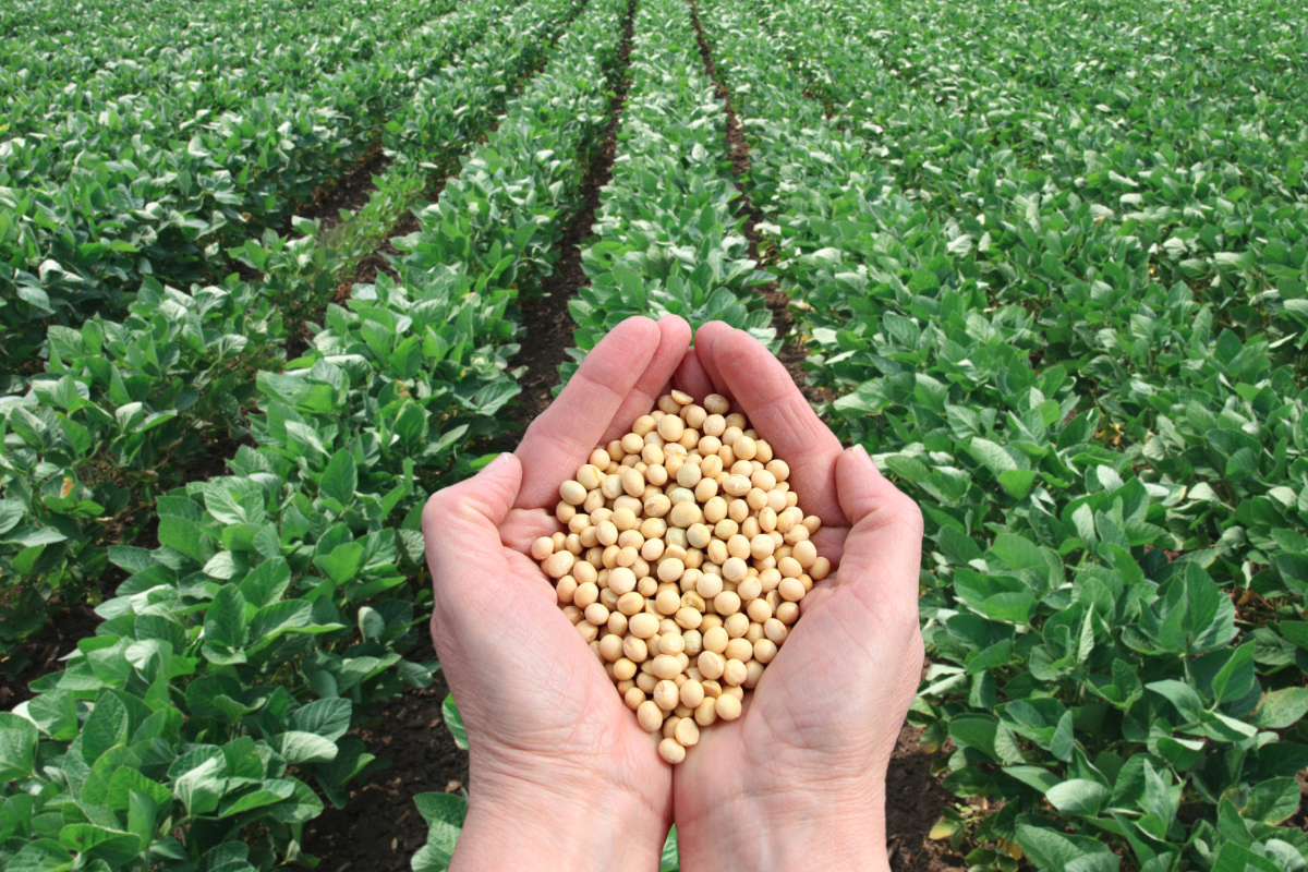 Non GMO Project verified soybeans