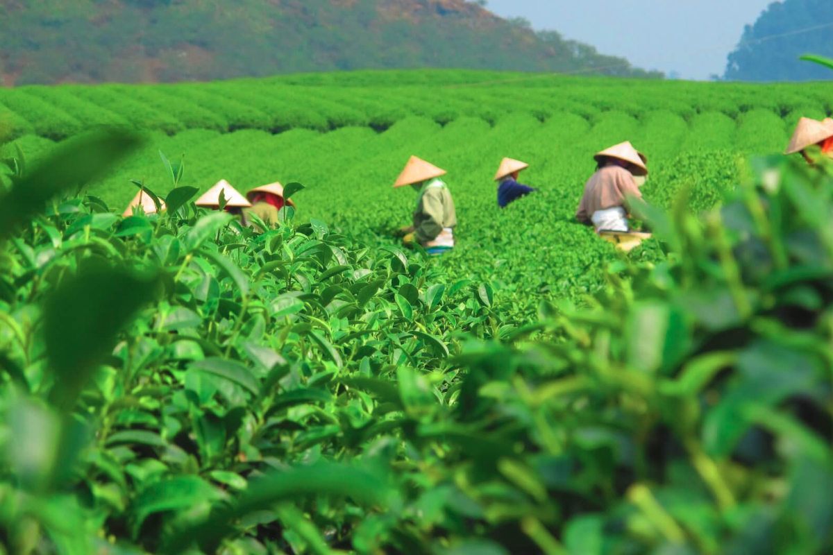 Sustainable tea leaf harvest