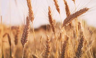 Wheat_photo-cred-adobe-stock_e-copy