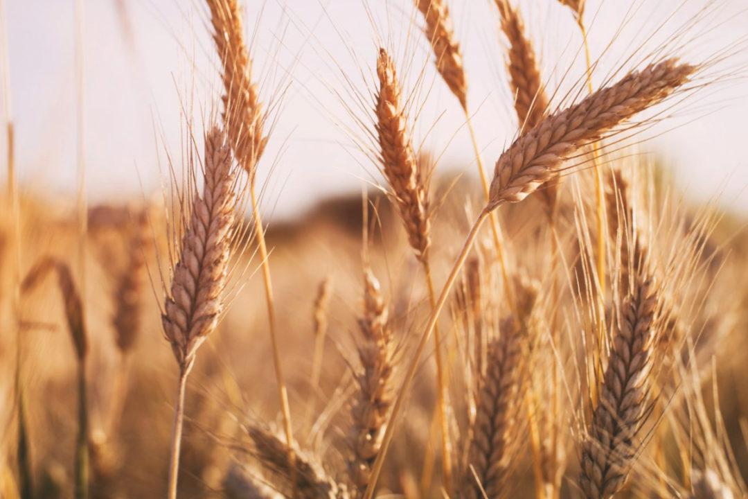 wheat export forecast
