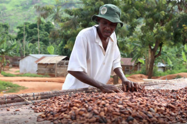 Cocoa farmer drying cocoa beans