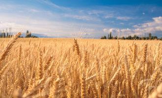 Wheatfield lead