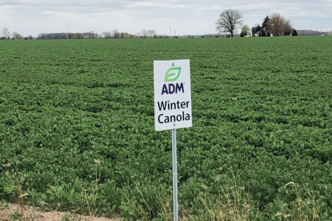 ADM winter canola field