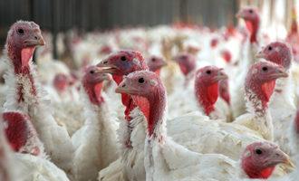 Turkeyfarm lead