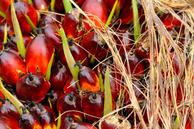 Close-up of oil palms