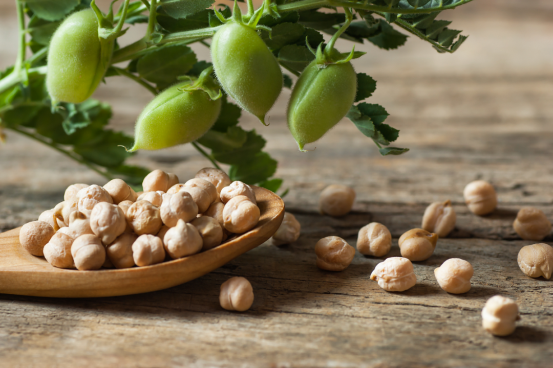 Uncooked dried chickpeas in wooden spoon with raw green chickpea pod plant on wooden table