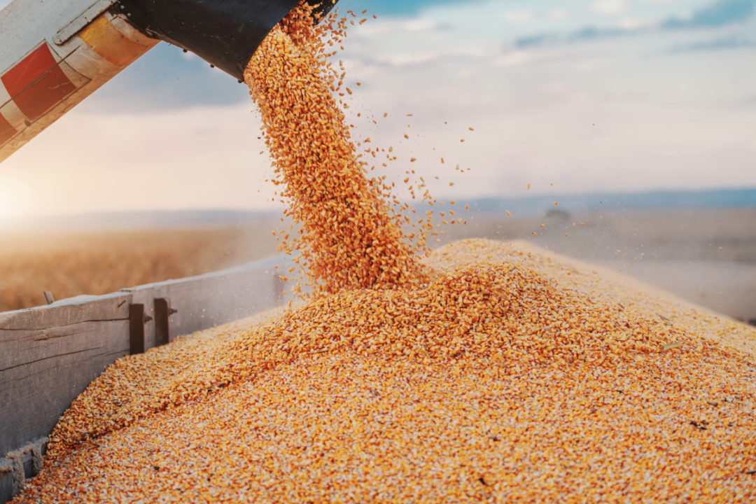 Machine for separating corn grains working on field and filling tractor trailer with corn