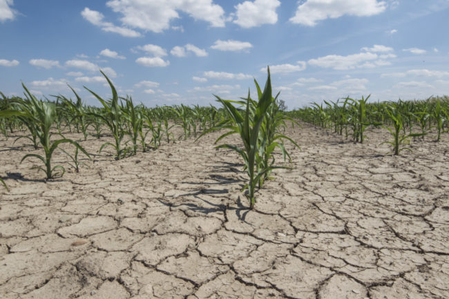 Corn field during a drought