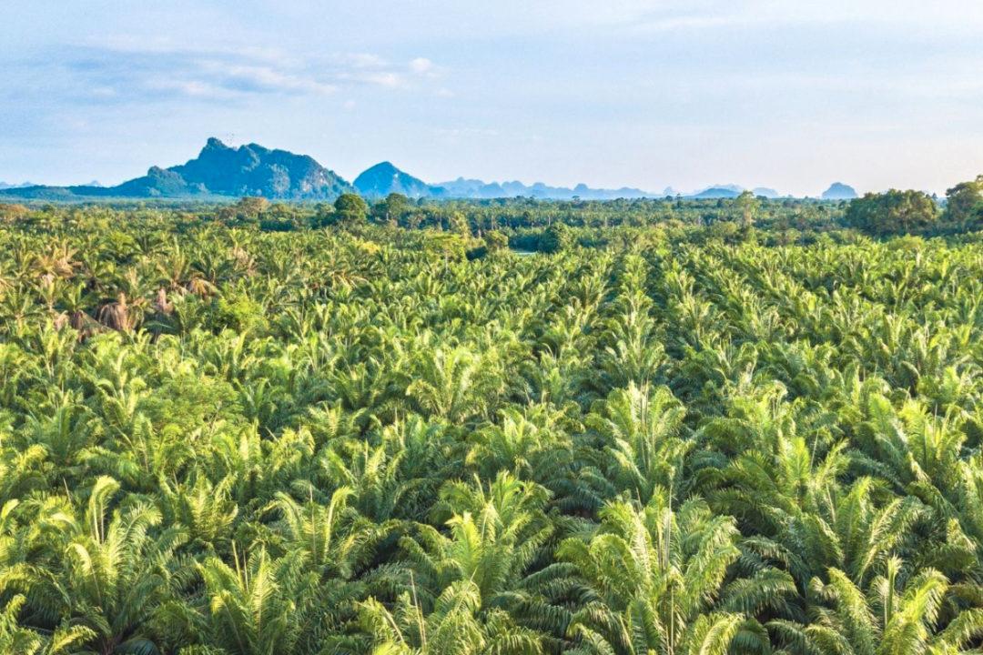 Palm crop
