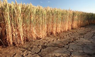 Wheatdrought lead