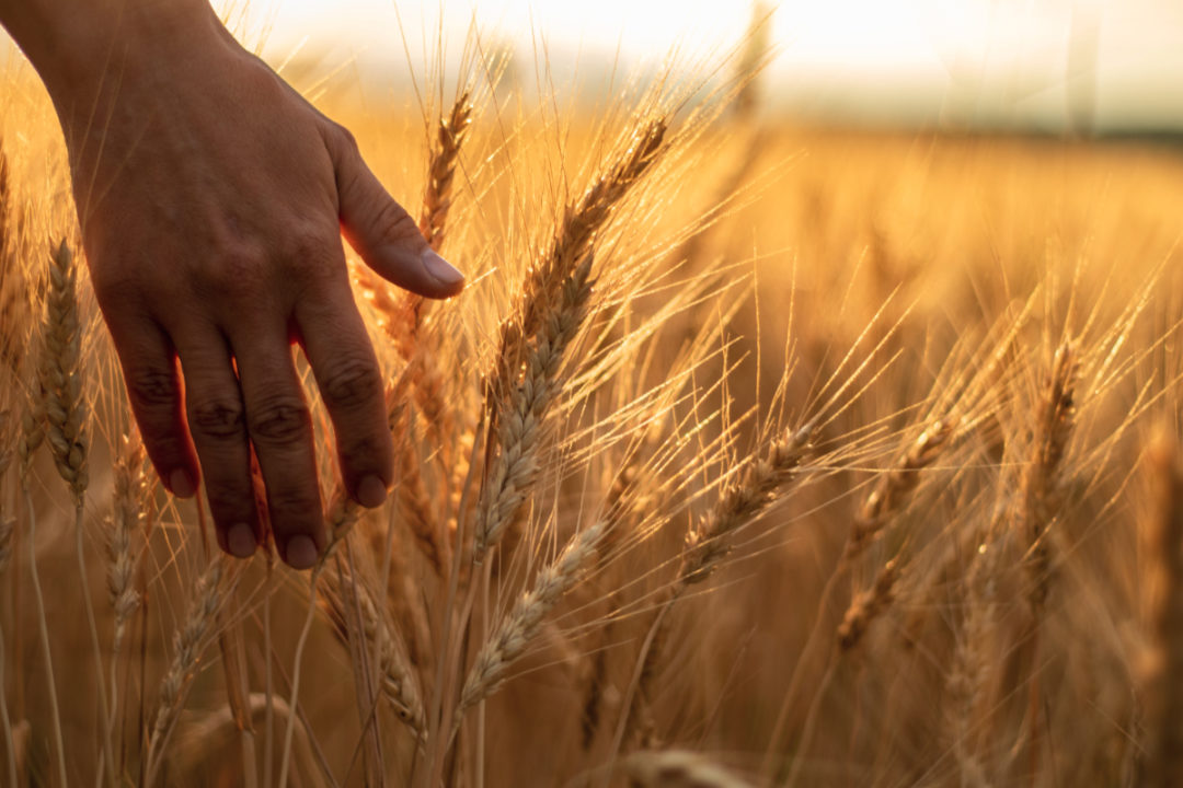 Wheat field and hand