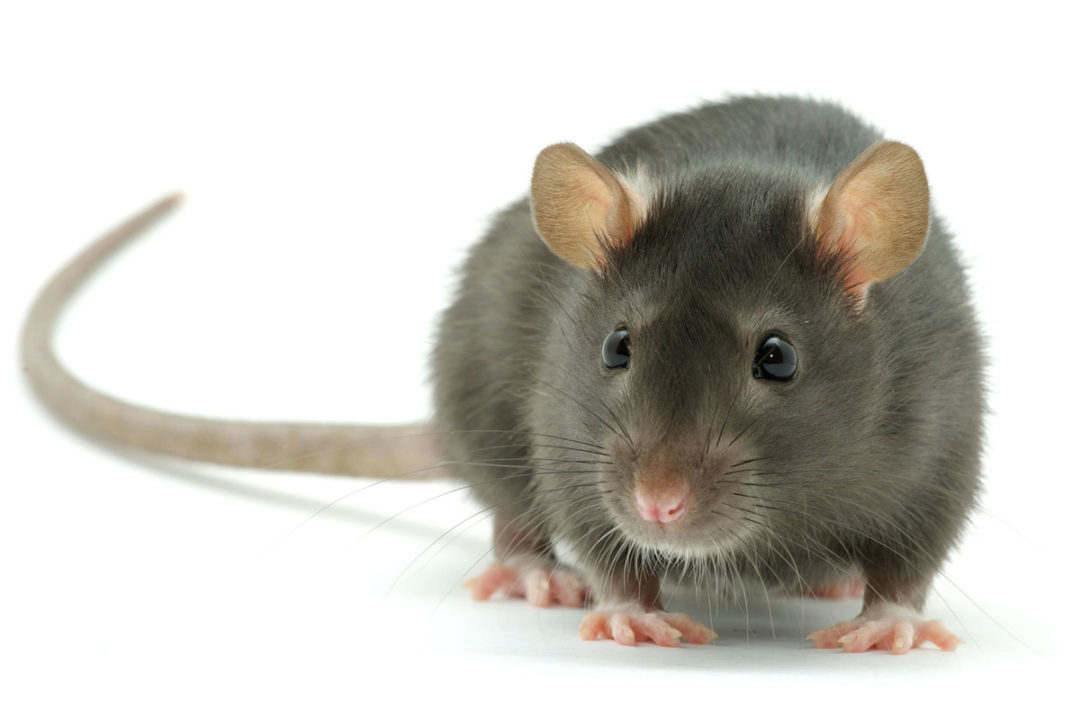 mouse-food-safety-pest-prevention.jpg
