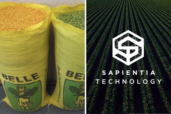Belle Pulses green and yellow split peas and Sapientia Technology LLC logo over crop field