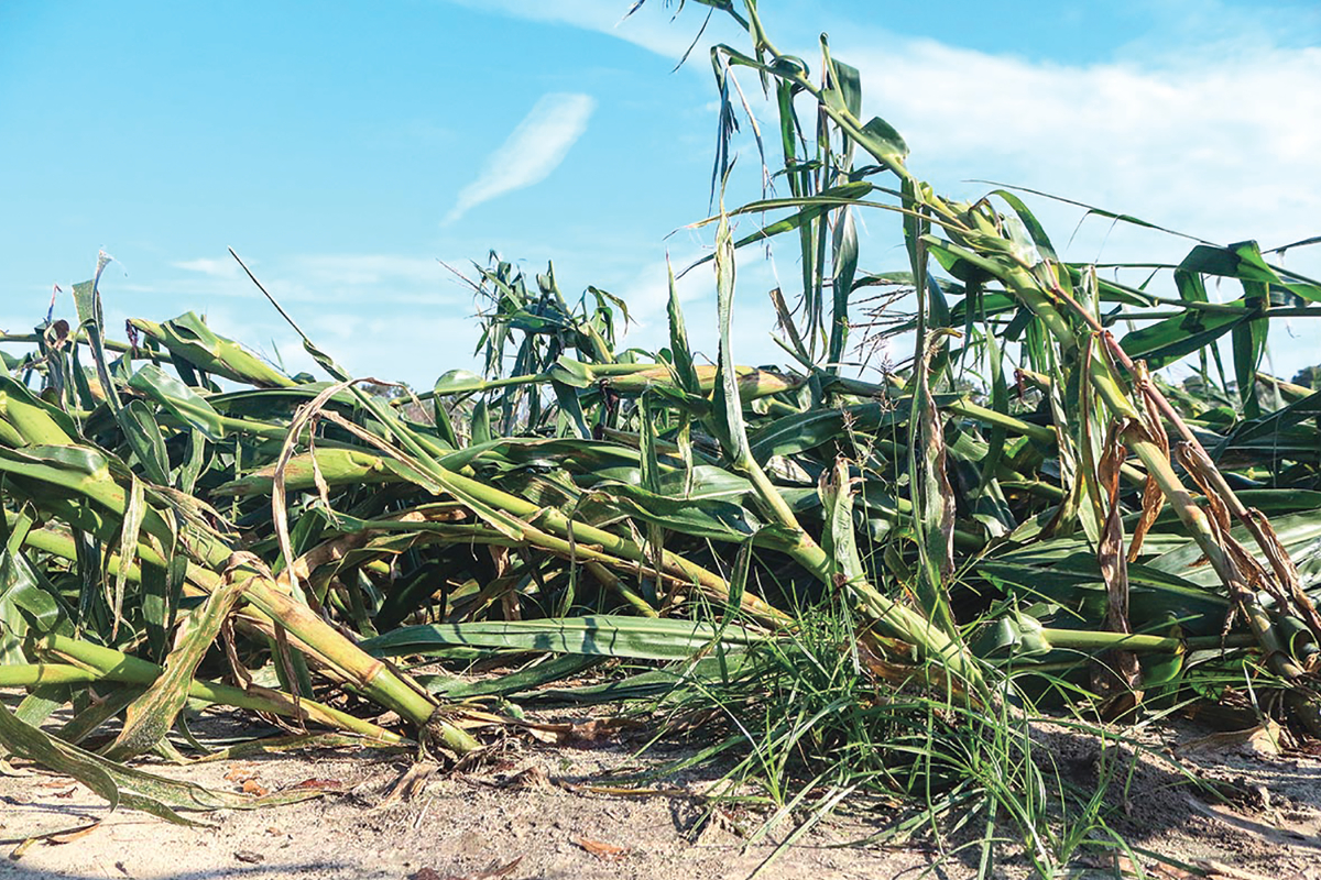 Hurricane-affected crops