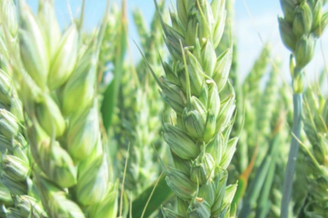 Syngenta hybrid wheat