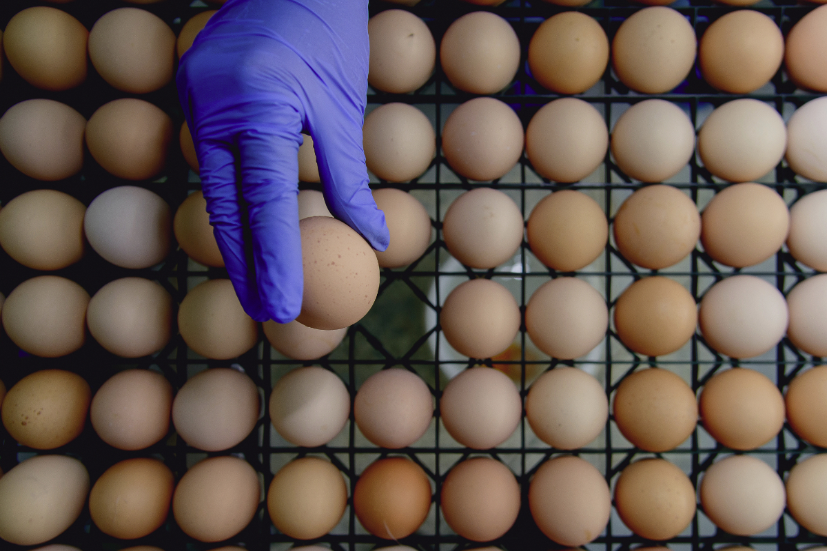 Inspecting eggs, food safety