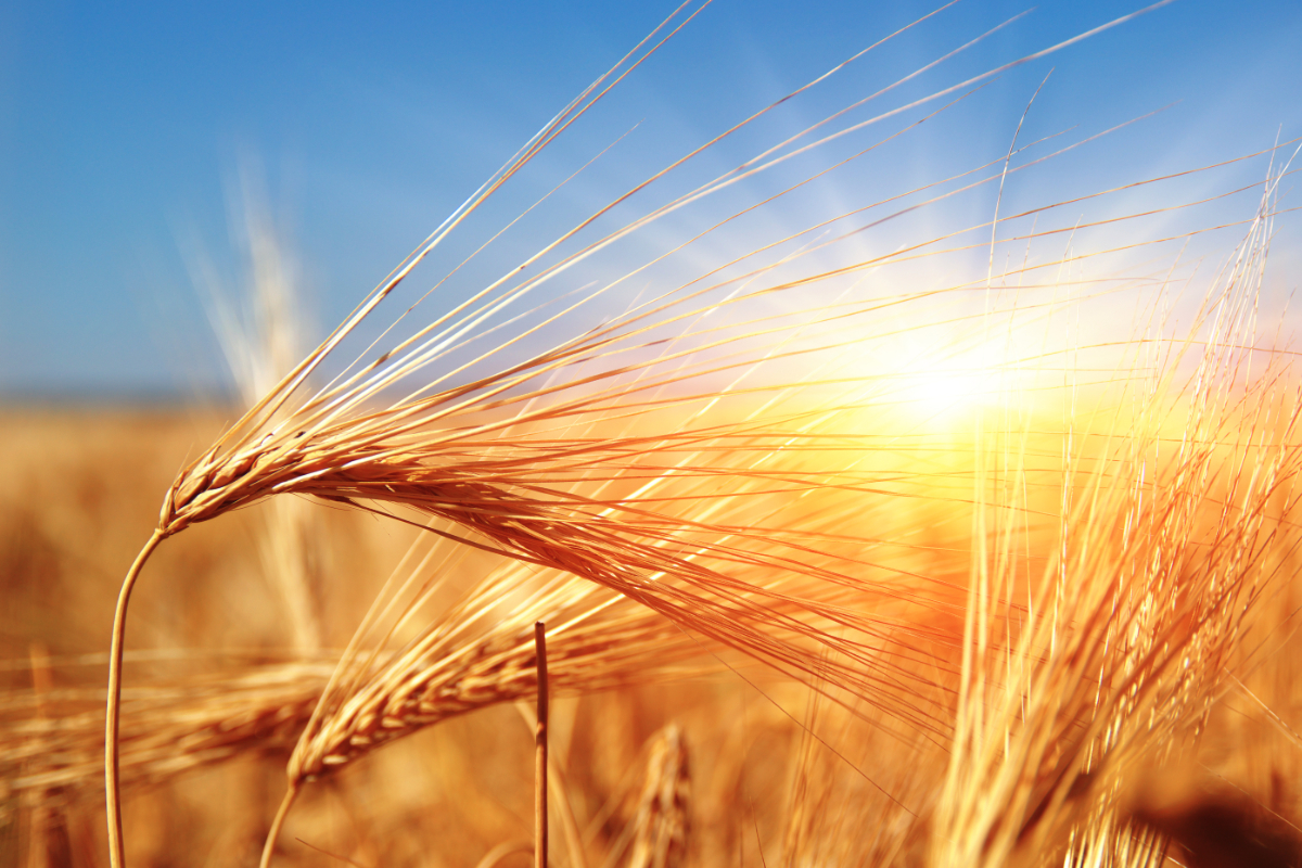 Wheat in the sun