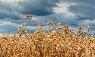 Raincloudwheat_lead1