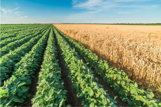 Soybean and wheat field