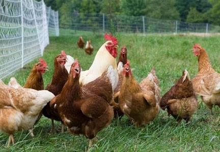 Cage-free chickens on a farm