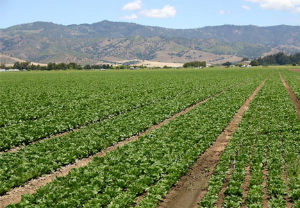 Salinas Valley, California lettuce field - McDonald's