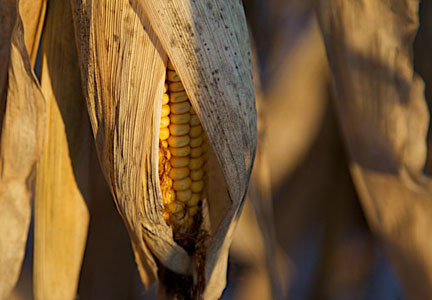 Ear of corn in a corn field