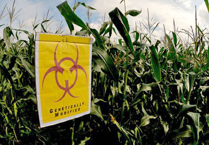 Corn field marked with genetically modified sign