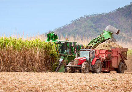 Machine harvesting sugar cane