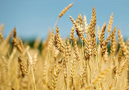 Missouri On Track for Second-Highest Corn Harvest On Record